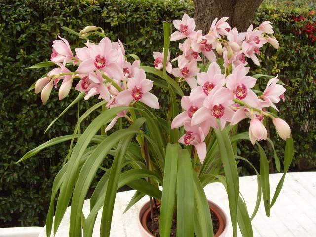 cymbidiums et phalaenopsis S1050313