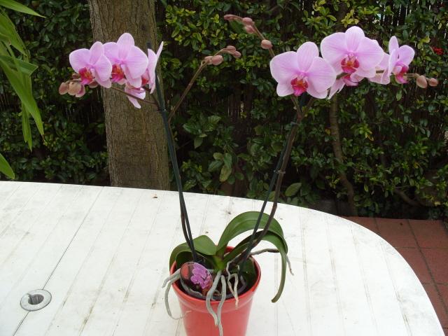 cymbidiums et phalaenopsis S1050315
