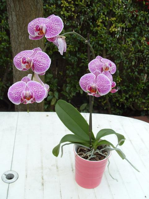 cymbidiums et phalaenopsis S1050317