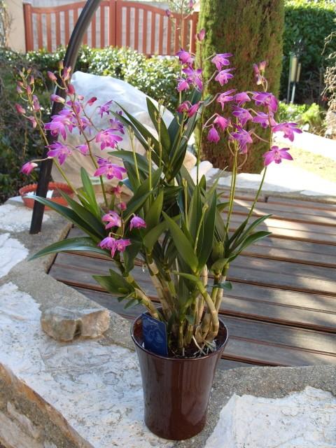 cymbidiums et phalaenopsis S1050320
