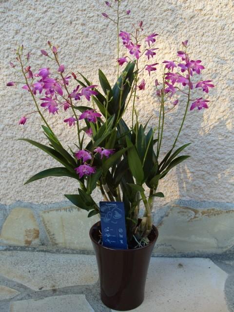 cymbidiums et phalaenopsis S1050322