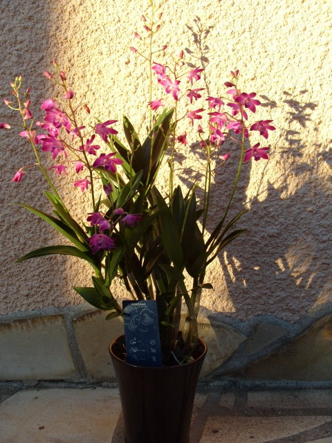 cymbidiums et phalaenopsis S1050323