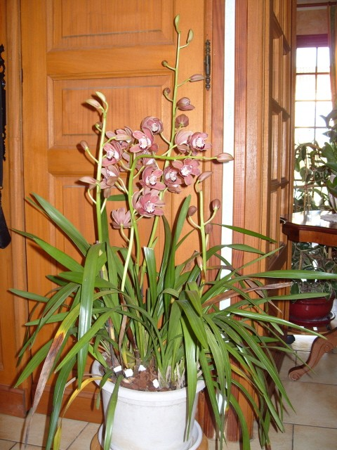 cymbidiums et phalaenopsis S1050348