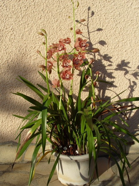 cymbidiums et phalaenopsis S1050349