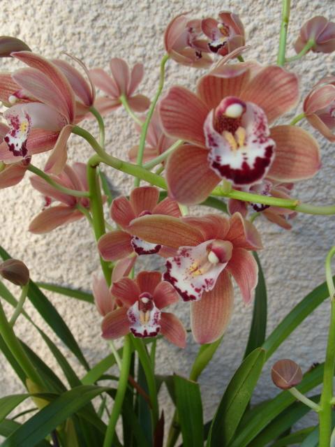 cymbidiums et phalaenopsis S1050351