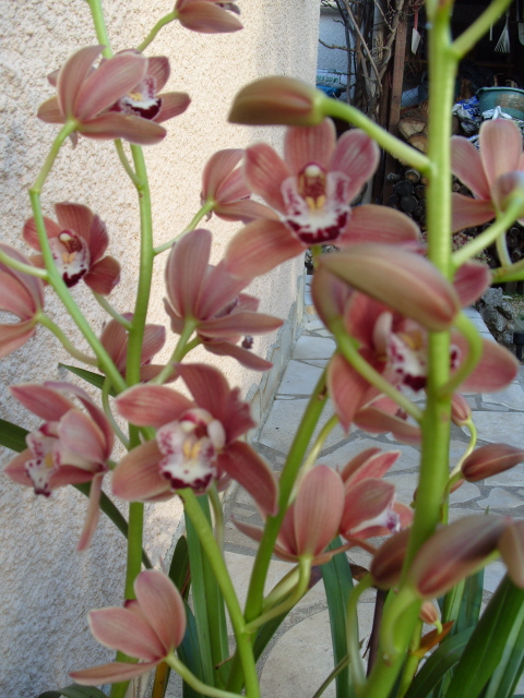 cymbidiums et phalaenopsis S1050352