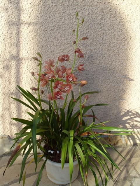 cymbidiums et phalaenopsis S1050353