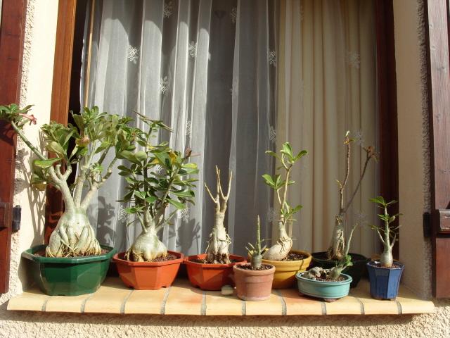 nos bonsaïs et autres ficus S1051814
