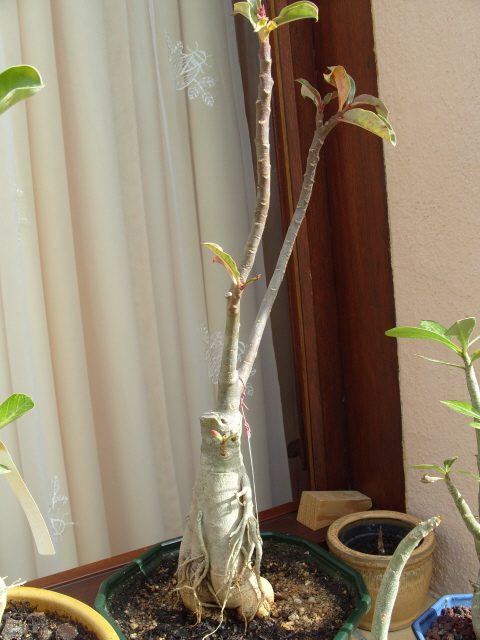 nos bonsaïs et autres ficus S1051815
