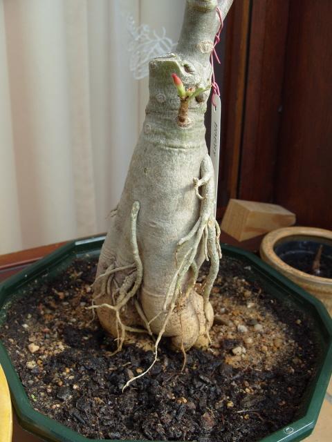 nos bonsaïs et autres ficus S1051817