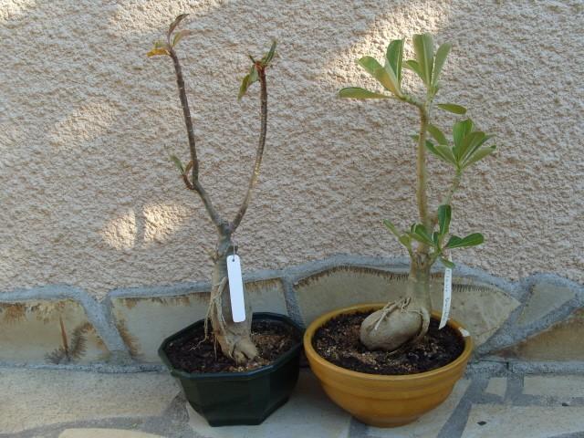 nos bonsaïs et autres ficus S1051818