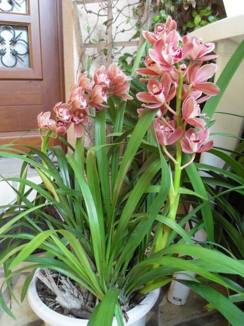 cymbidiums et phalaenopsis Sdc10012