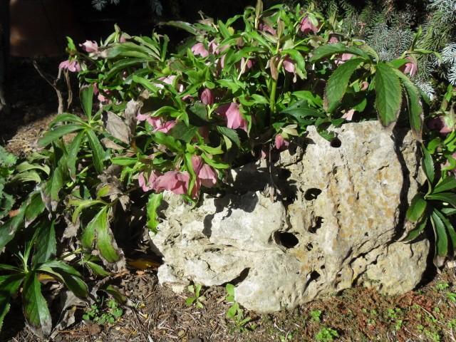 helleborus orientalis, oui, mais lequel? Sdc10020