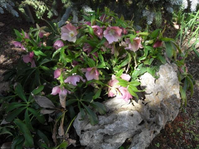 helleborus orientalis, oui, mais lequel? Sdc10021