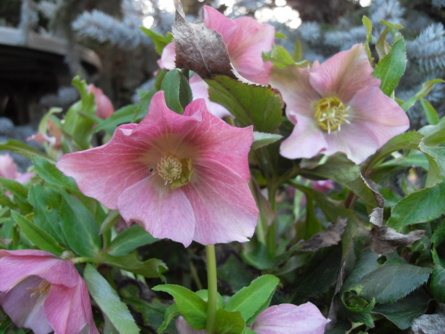 helleborus orientalis, oui, mais lequel? Sdc10022