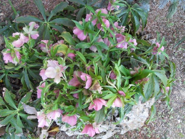 helleborus orientalis, oui, mais lequel? Sdc10023