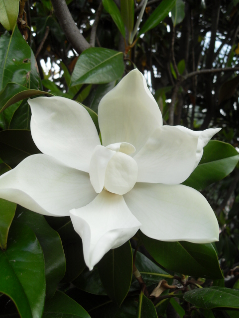 magnolia Sdc10043
