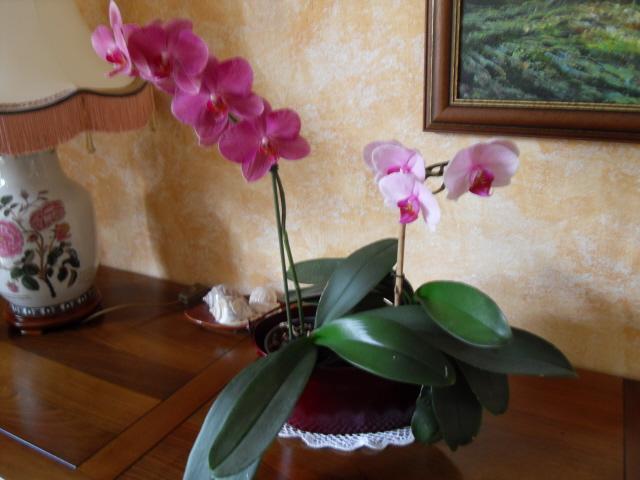 cymbidiums et phalaenopsis Sdc10044