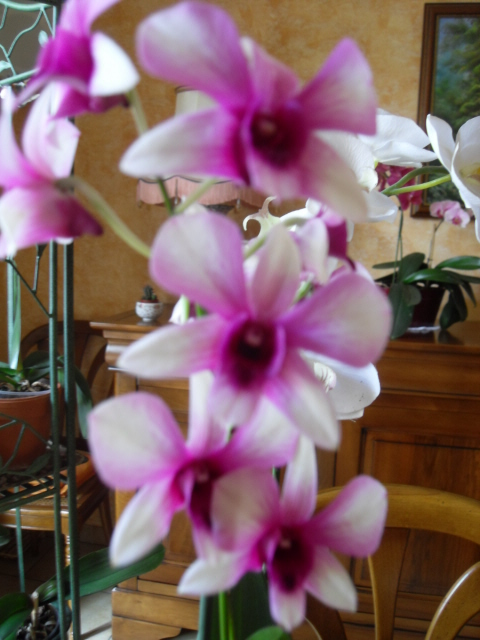 cymbidiums et phalaenopsis Sdc10047