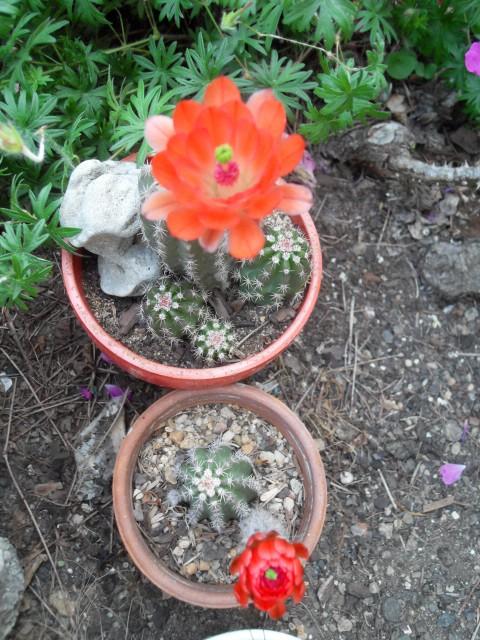 fraisier et coupelle de cactées et succulentes Sdc10068