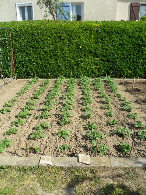 nouvelles plantations de légumes - Page 3 Sdc10112