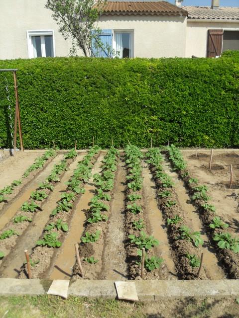 nouvelles plantations de légumes - Page 3 Sdc10114