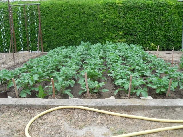 nouvelles plantations de légumes - Page 3 Sdc10222