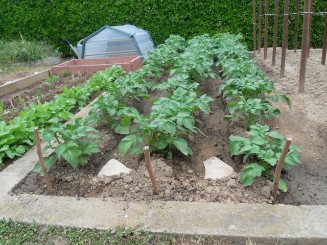 nouvelles plantations de légumes - Page 3 Sdc10223