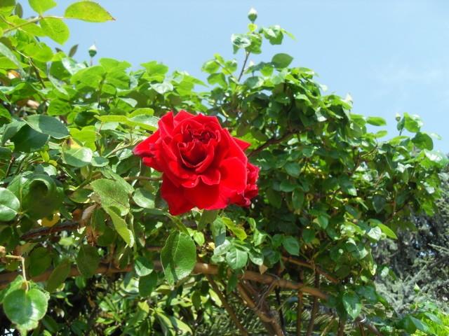 Petit album de roses - Page 4 Sdc10230