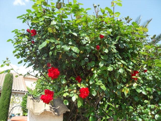 Petit album de roses - Page 4 Sdc10231