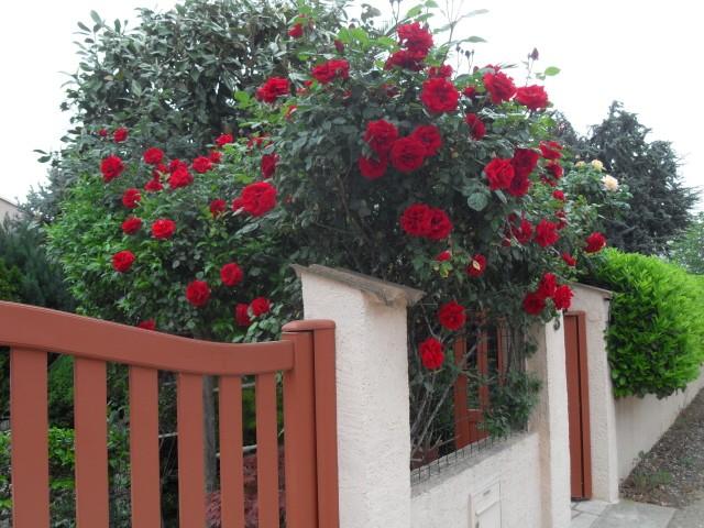 Petit album de roses - Page 4 Sdc10324
