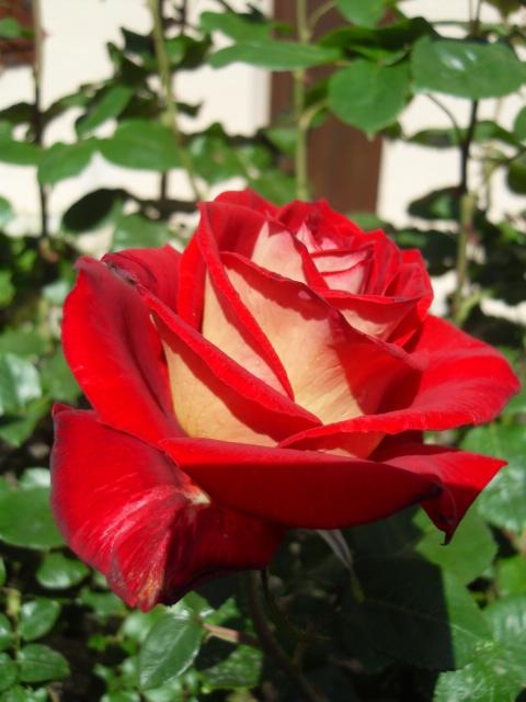 Petit album de roses - Page 4 Sdc10413