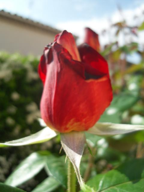 Petit album de roses - Page 4 Sdc10414
