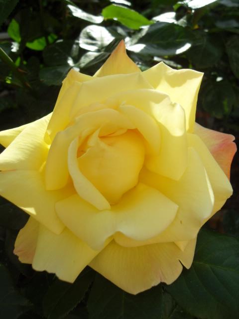 Petit album de roses - Page 4 Sdc10415