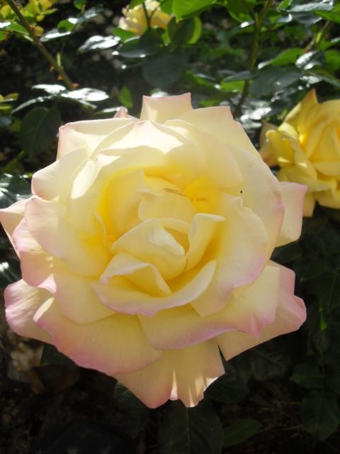 Petit album de roses - Page 4 Sdc10416