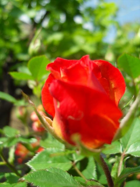 Petit album de roses - Page 4 Sdc10417
