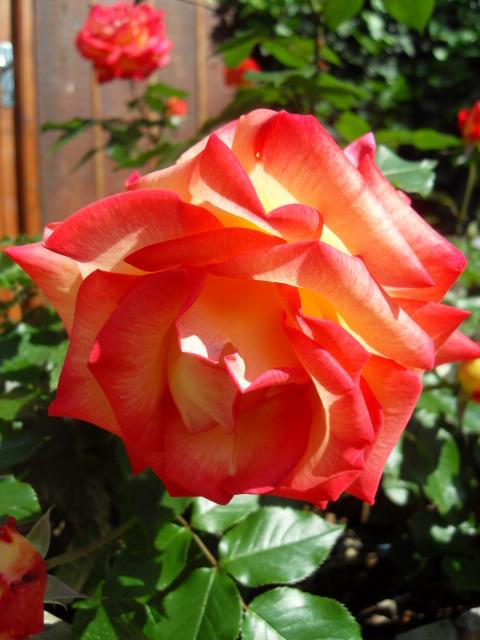 Petit album de roses - Page 4 Sdc10423