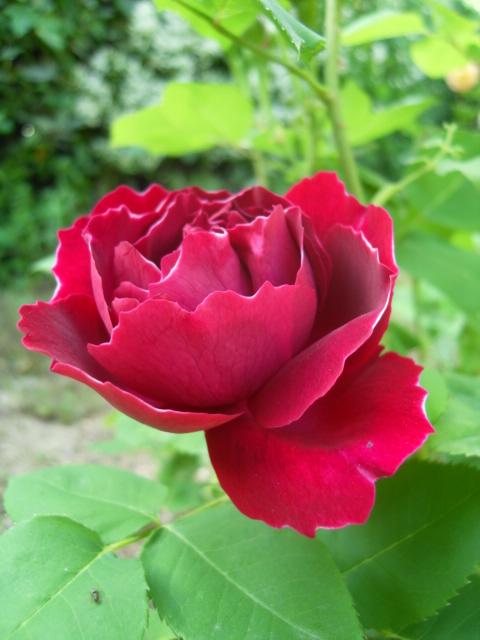 Petit album de roses - Page 4 Sdc10424