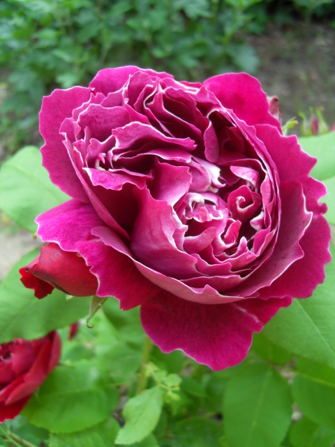 Petit album de roses - Page 4 Sdc10425