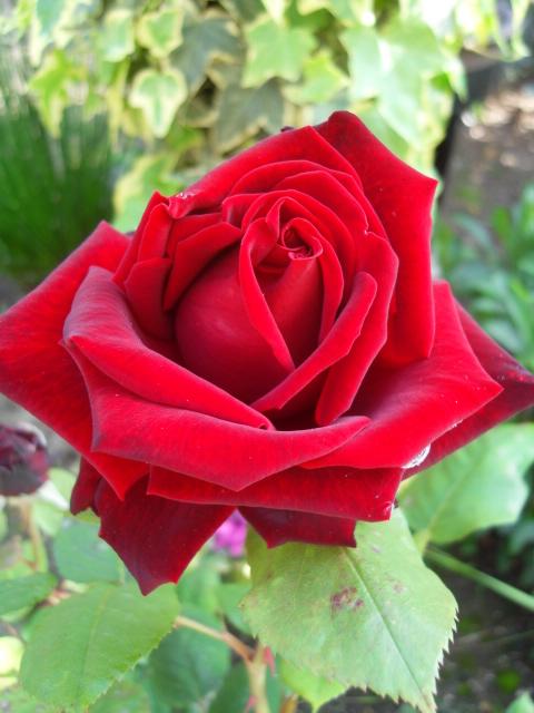 Petit album de roses - Page 4 Sdc10427