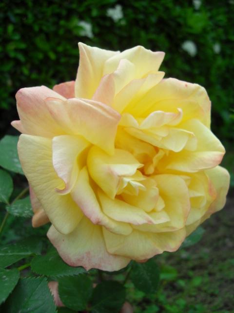 Petit album de roses - Page 4 Sdc10429