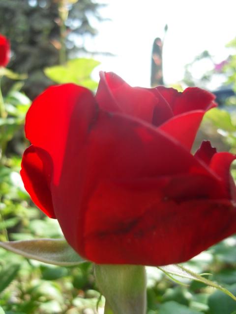 Petit album de roses - Page 4 Sdc10432