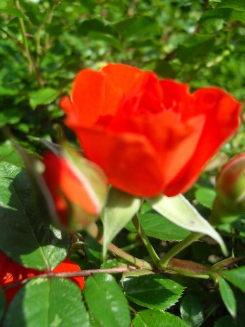 Petit album de roses - Page 4 Sdc10434