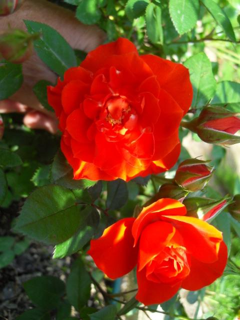 Petit album de roses - Page 4 Sdc10435