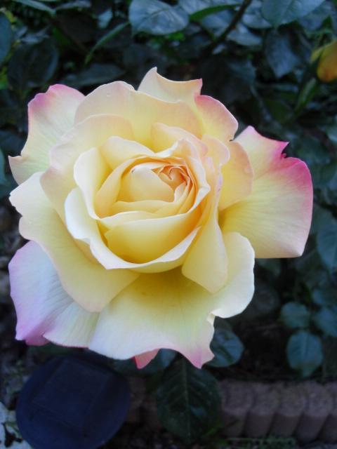 Petit album de roses - Page 4 Sdc10440