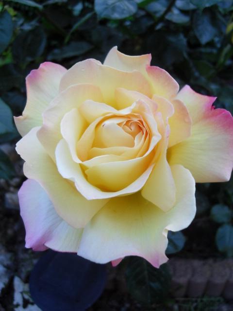Petit album de roses - Page 4 Sdc10441