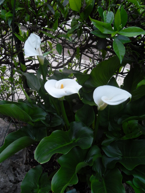 arum des fleuristes Sdc10446