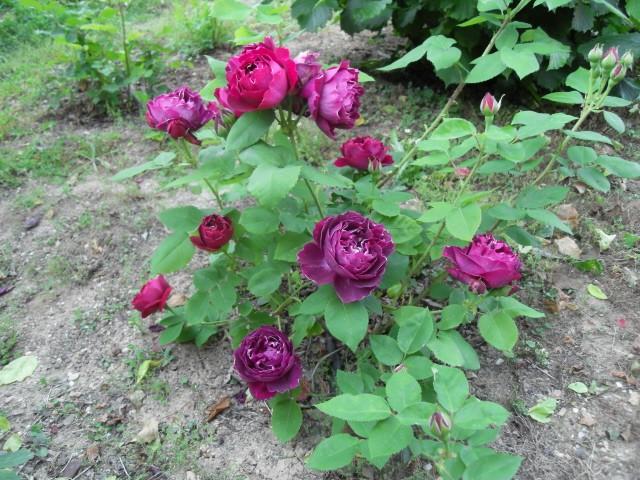Petit album de roses - Page 4 Sdc10534