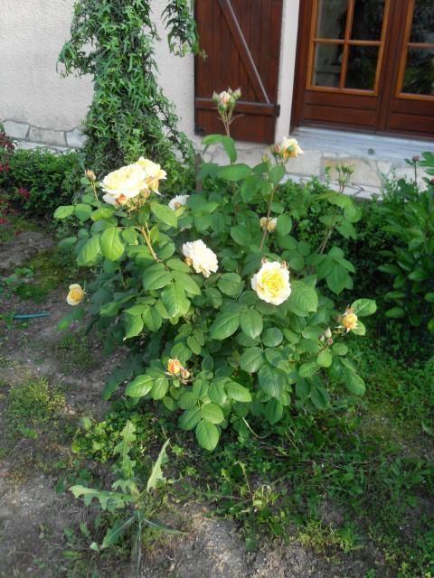 Petit album de roses - Page 4 Sdc10535