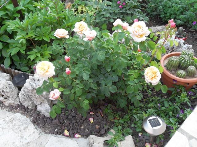 Petit album de roses - Page 4 Sdc10537